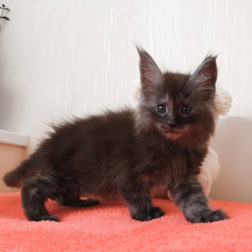Sam Maine Coon kitten