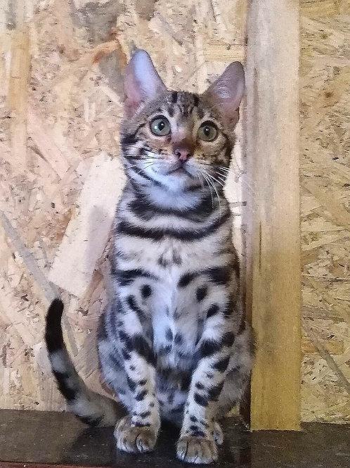 Ultima purebred Bengal female kitten