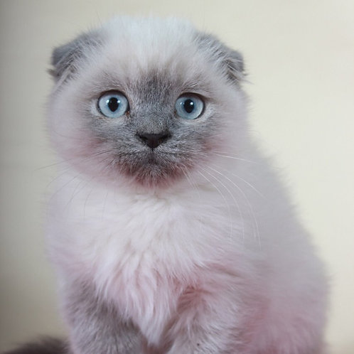 Bandit lilac color point Scottish fold male kitten