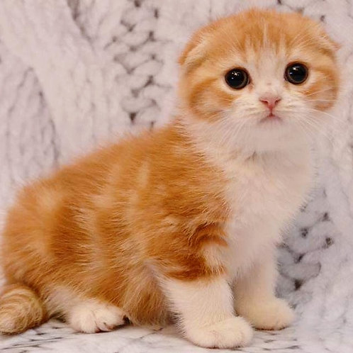 Chaplin purebred Scottish fold in a red with white color