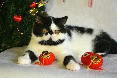 Atos black on white Exotic shorthair kitten