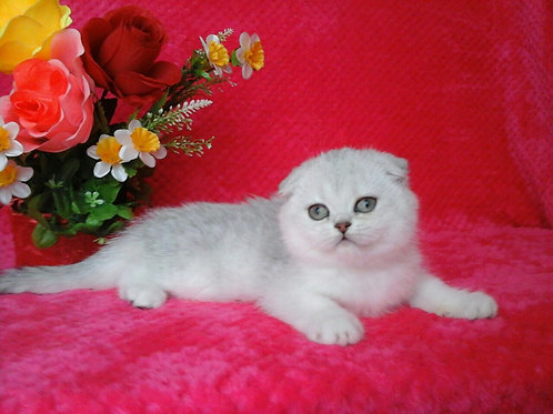 Alisa chinchilla color Scottish fold female kitten