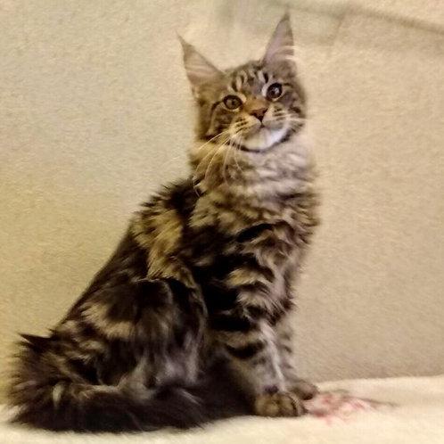 Borisfen Maine Coon black marble color male kitten