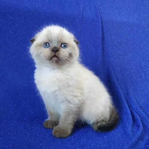 Peter Scottish fold shorthair male kitten
