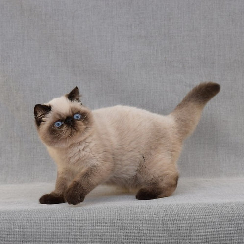 Usik seal color point Exotic shorthair kitten