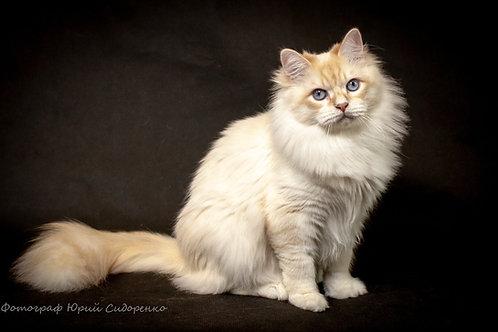 Gvidon Siberian kitten
