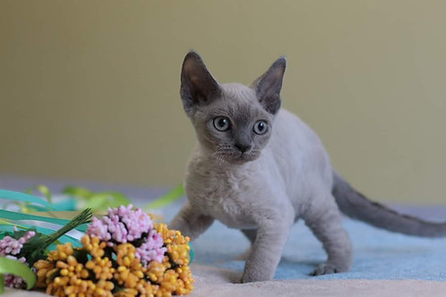 Peona Devon Rex kitten