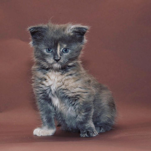 Bagira purebred Mane Coon female kitten in a blue tortie color