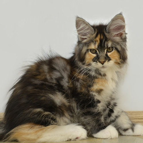 Bongusto Jasmin calico color female Maine Coon kitten