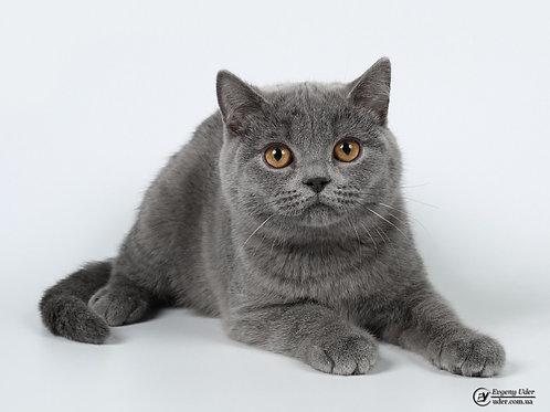 Orion purebred British shorthair kitten