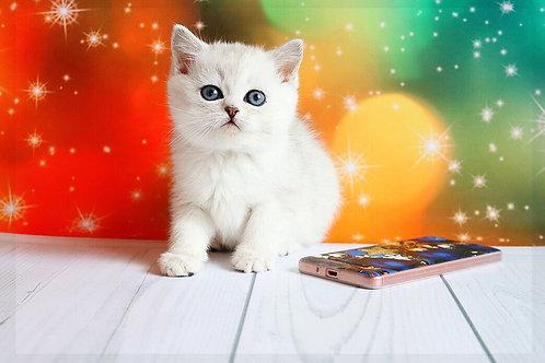 Bred purebred British shorthair kitten