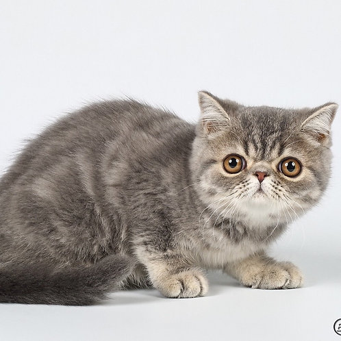 Midnight purebred blue marble color male Exotic shorthair kitten