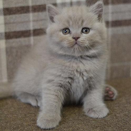 Tomas Scottish straight shorthair male kitten