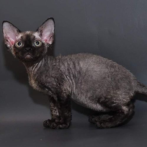 Selena female kitten Devon Rex