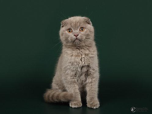 Balu Scottish fold shorthair male kitten
