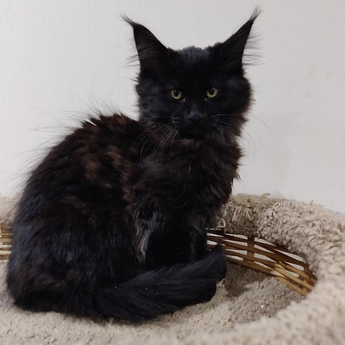 Nike Maine Coon black solid color male kitten