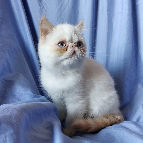 Tito red point Exotic male kitten