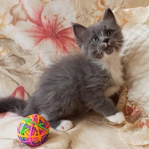 Inzhir Siberian male kitten