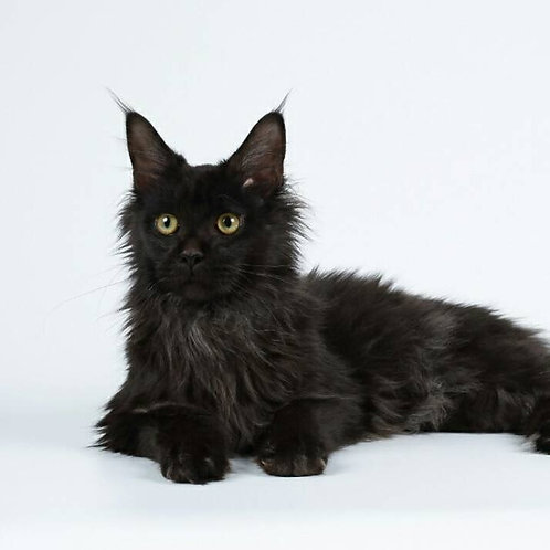 Ilam black color male Maine Coon kitten