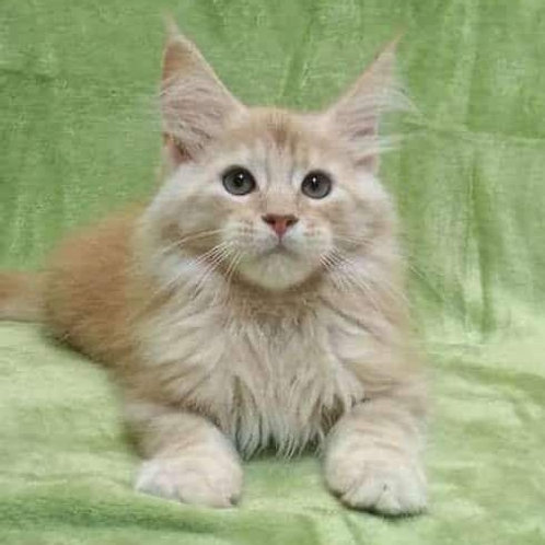 Neo Maine Coon male kitten in red silver marble