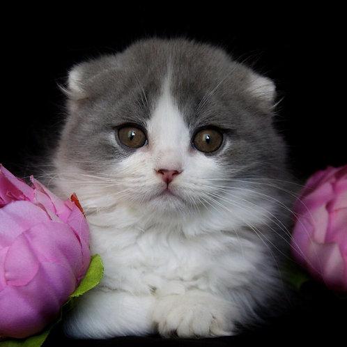Bazil Scottish fold longhair male kitten