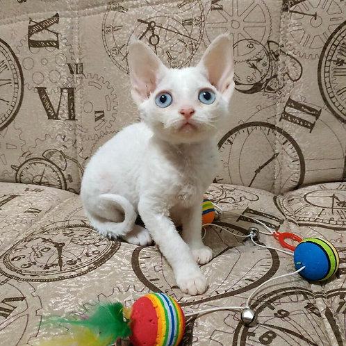 Italia white colorpoint female kitten Devon Rex