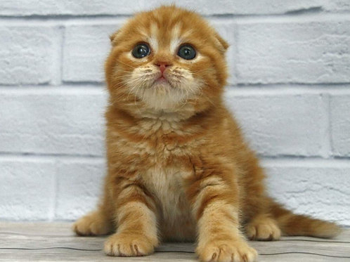Duran-Duran purebred Scottish fold in a red marble color