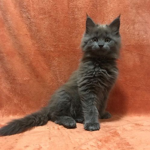 Blueberry Maine Coon blue solid female kitten