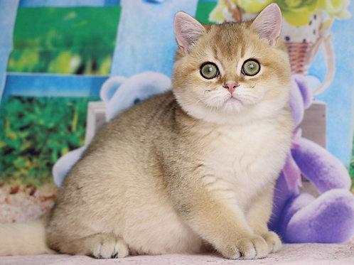 Arnold British shorthair male kitten