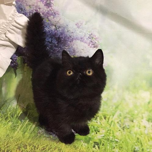 Chacki black Exotic shorthair male kitten