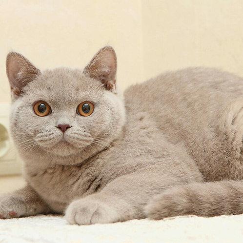 Plush Kiss Juno purebred British shorthair male kitten