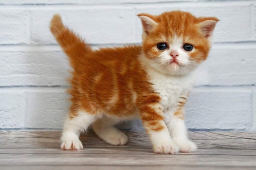 Fasolka Scottish straight shorthair male kitten