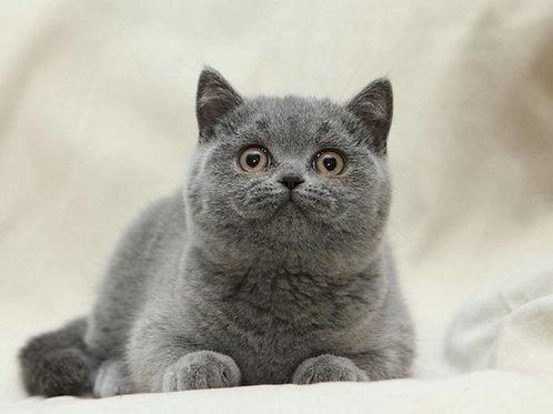 Tonya purebred British shorthair female kitten