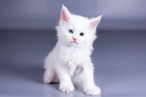 Valuable Maine Coon in a white color