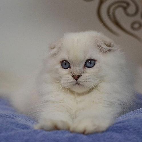 Timberland Scottish fold male kitten