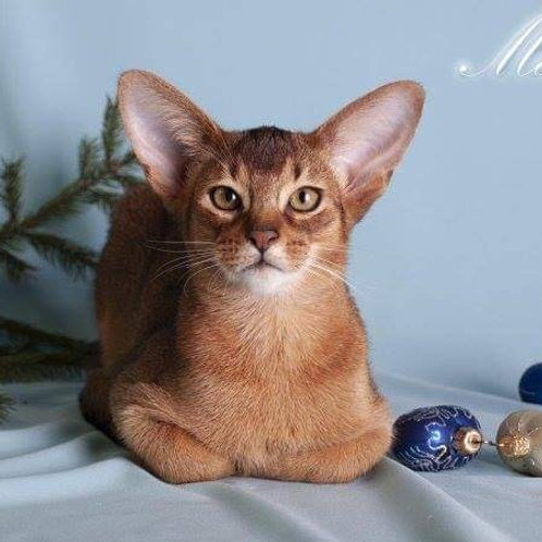 Merlin purebred Abyssinian male kitten