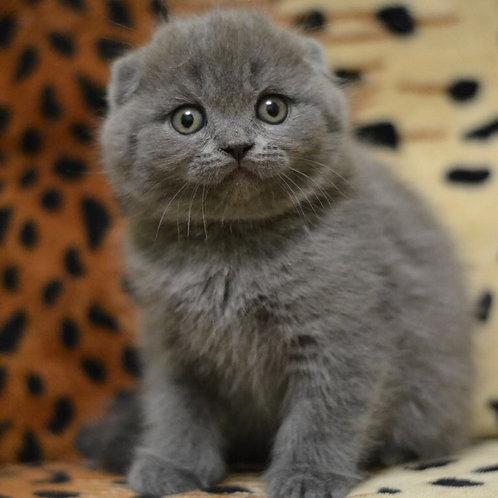 Twister purebred Scottish fold kitten in a blue color