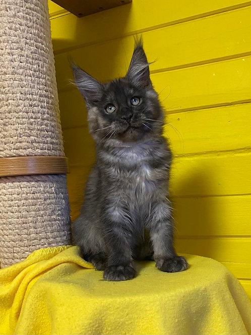 110 Kirsa Maine Coon female kitten