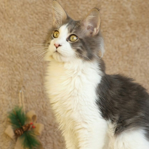Daniel Maine Coon kitten