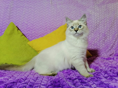 207 Perseida      Siberian female kitten