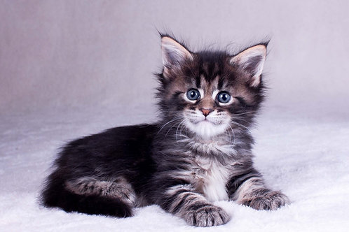 Ostik Maine Coon black marble color male kitten