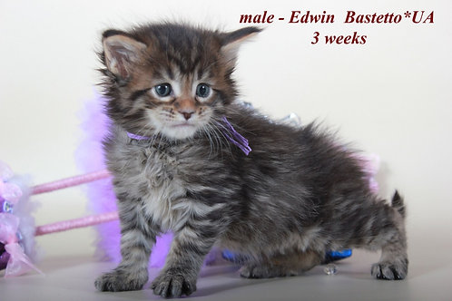 Edwin Maine Coon black tiger color male cat