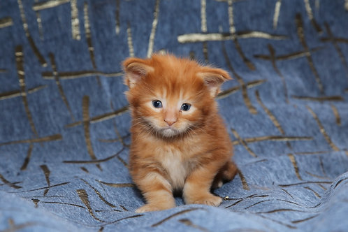 Benedicte Union Aleck red marble Maine Coon male kitten