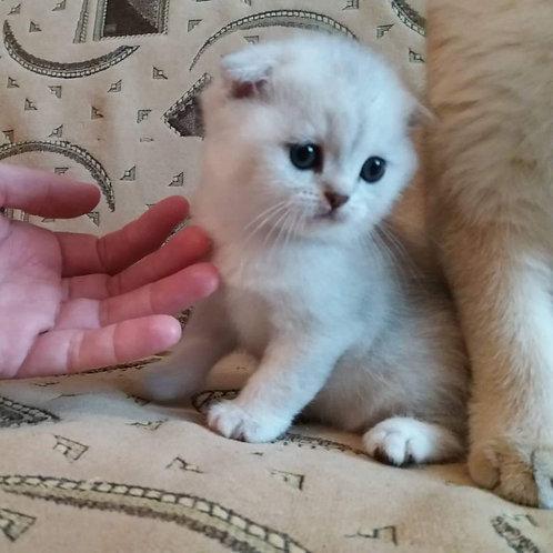 Bao Scottish fold silver chinchilla boy