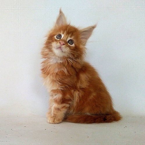 Indigo Maine Coon in a red marble color kitten