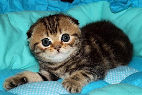 Disney Scottish fold shorthair male kitten