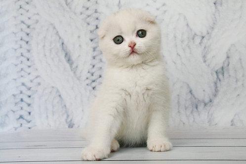 Belle (w62) white color Scottish fold male kitten
