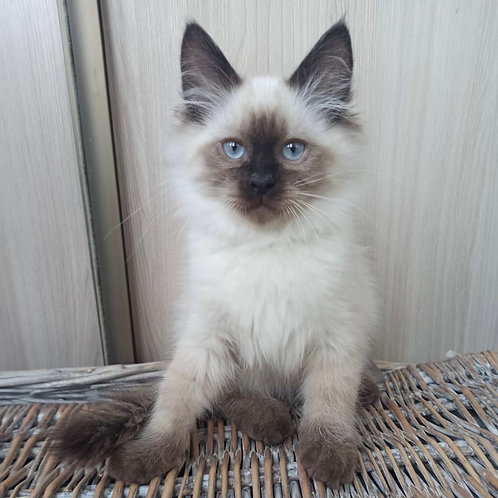 17 Amur Siberian male kitten