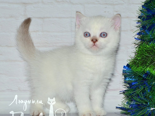 Sidney Scottish straight shorthair male kitten