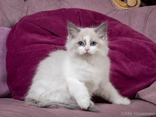 46 Tiny  Siberian male kitten